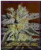 G13 Labs Double Black Female 5 Marijuana Seeds